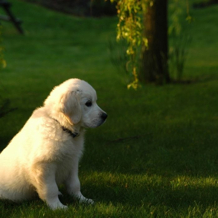 Young Golden Retriever 1404848 1279X850